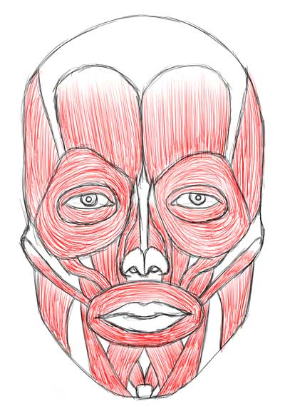 muscles of the face drawing